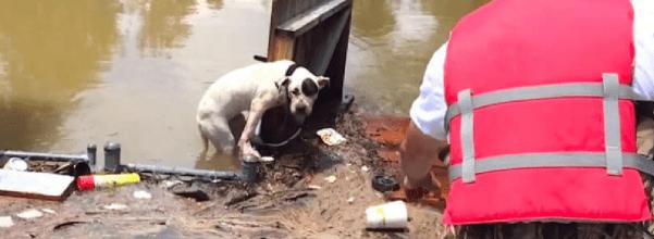 pit bull flood rescue