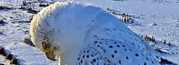 rare white gyrfalcon