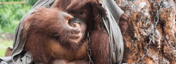 Orangutan chained to tree