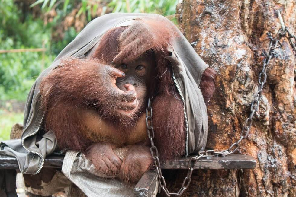 Neglected Orangutan Was Chained To Tree For Two Years Before