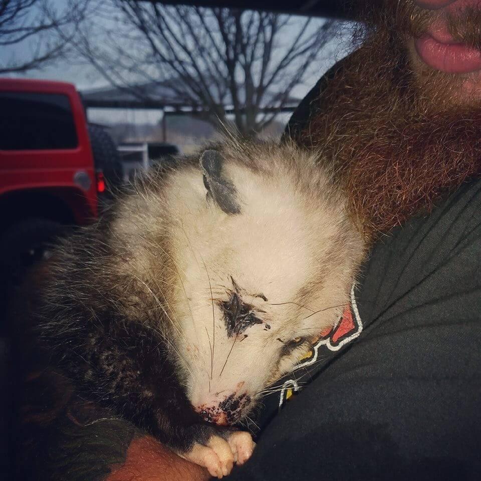 Pregnant opossum rescued