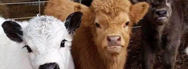 fluffy mini-cows
