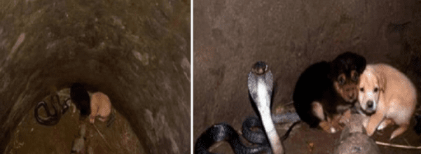 puppies and cobra rescued from well