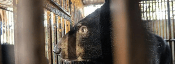 rescuers save abused bear