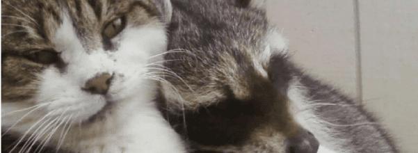 senior cat and raccoon