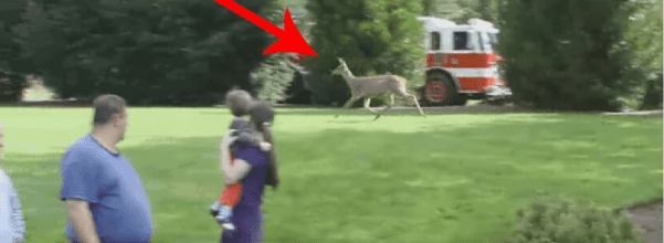 fawn rescued from rockpile