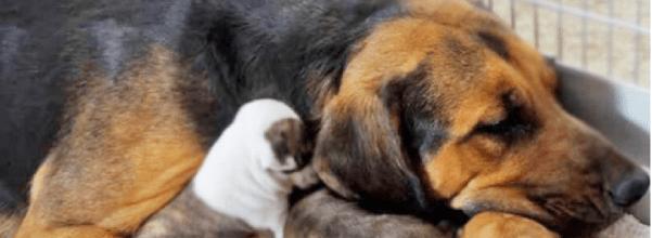 Nearly-Euthanized mama adopts 5 orphaned pit bulls