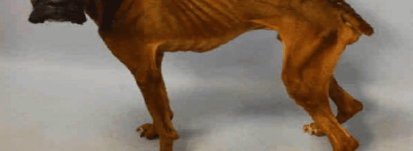 emaciated pup rescued