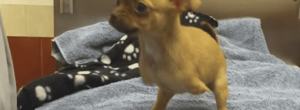 puppy gets prosthetic legs