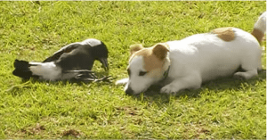 Magpie and dog