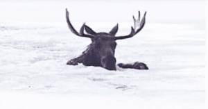 Rescuers save Moose