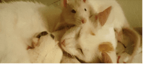 rat and kittens