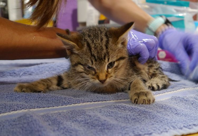 rescuers save brother and sister bobtail kittens from the cold