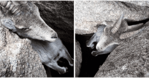 couple saves mountain goat