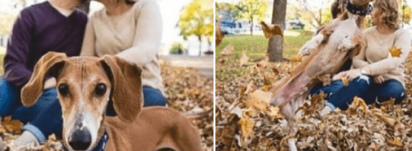 dachshund photobombs owners