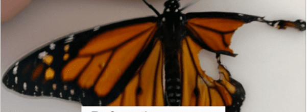 Woman performs surgery on monarch butterfly