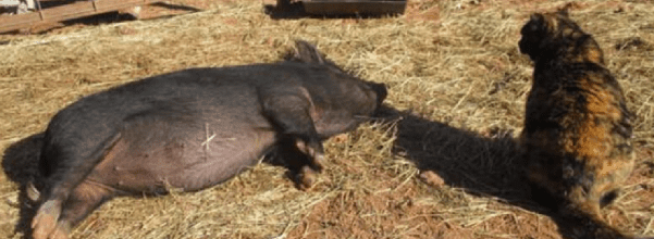 feral cat helps homeless pigs