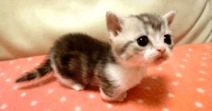 munchkin cats