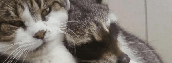 senior barn cat and raccoon