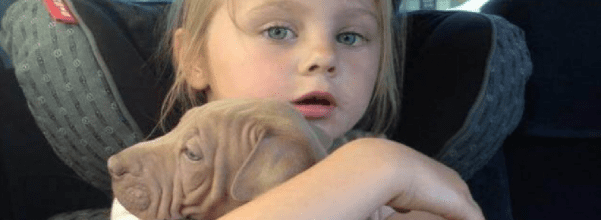 pit bull takes dog