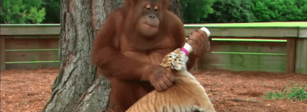 orangutan and tiger cubs are best friends
