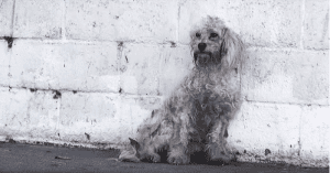 homeless poodle rescued