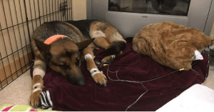 dog gets shot protecting owner