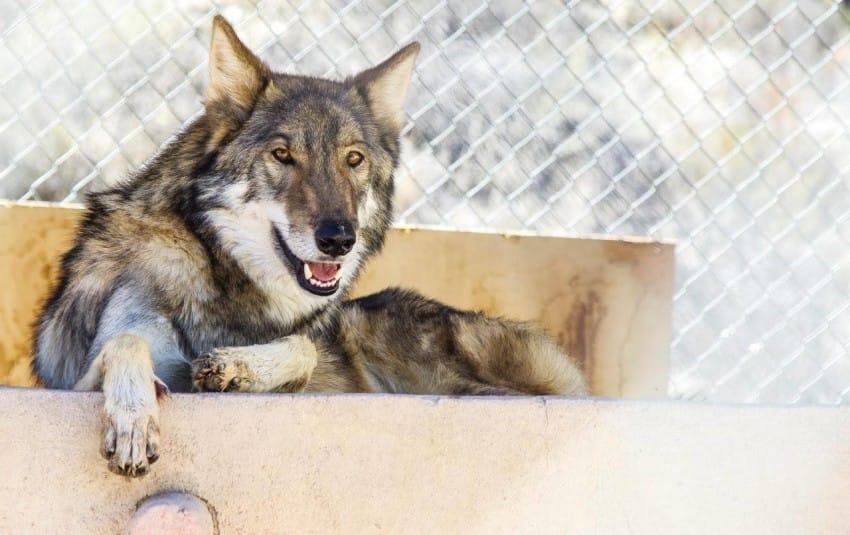 neo wolf dog puppy