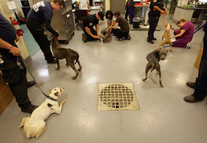40 pit bulls rescue