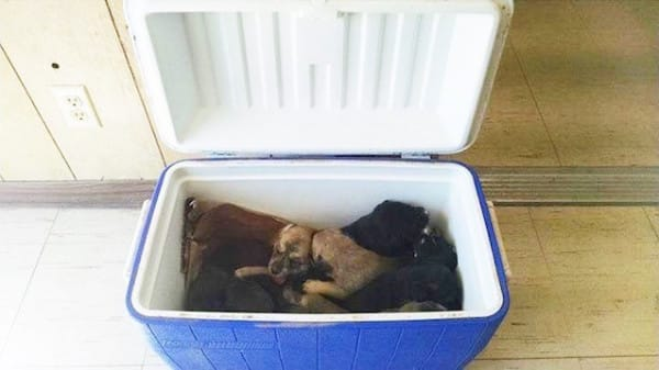 cooler of puppies