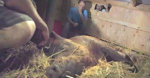 emma surprise piglets