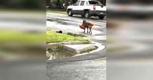 hurricane harvey otis dog