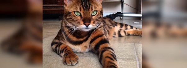 thor bengal cat