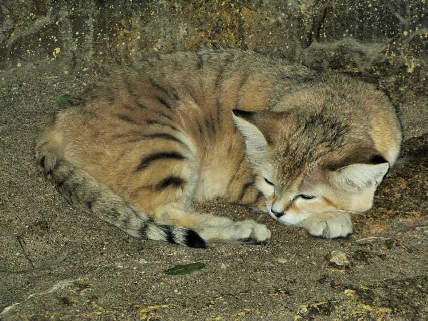 the sand cat reappears