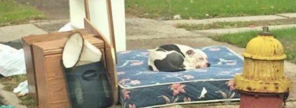 pit bull abandoned
