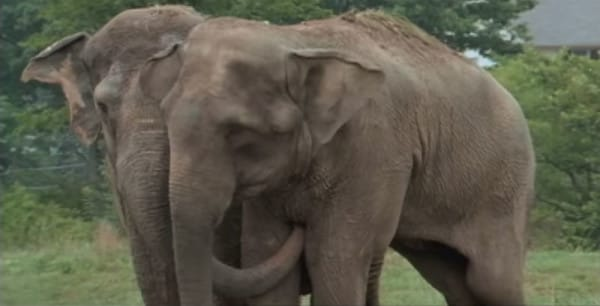 urban elephant shirleys story