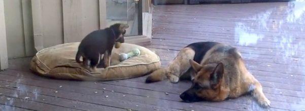 german shepherd avoids nap time