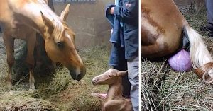 pregnant horse afterbirth surprise