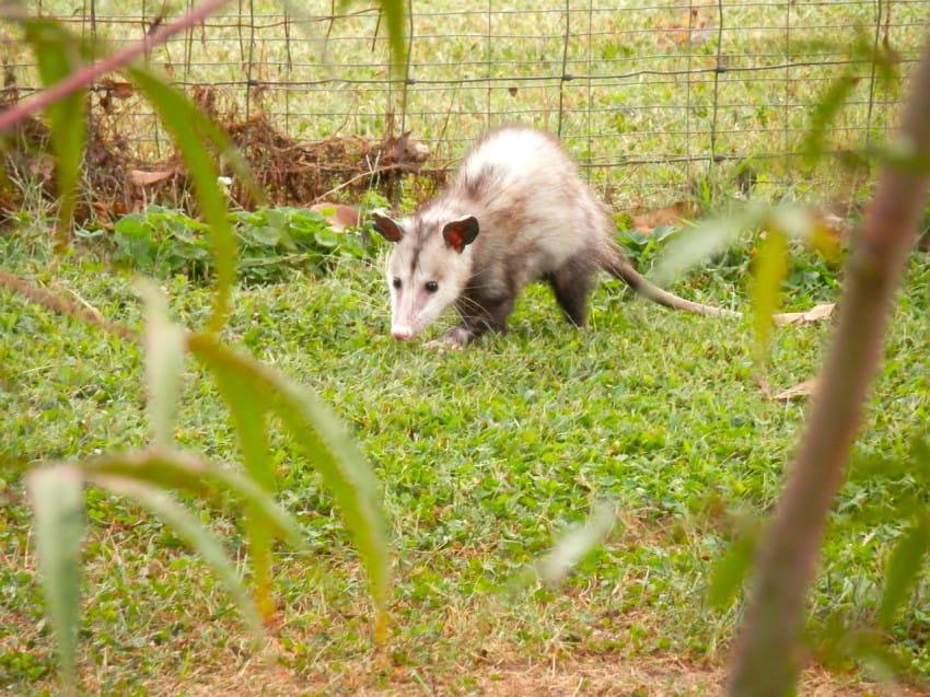 possum facts
