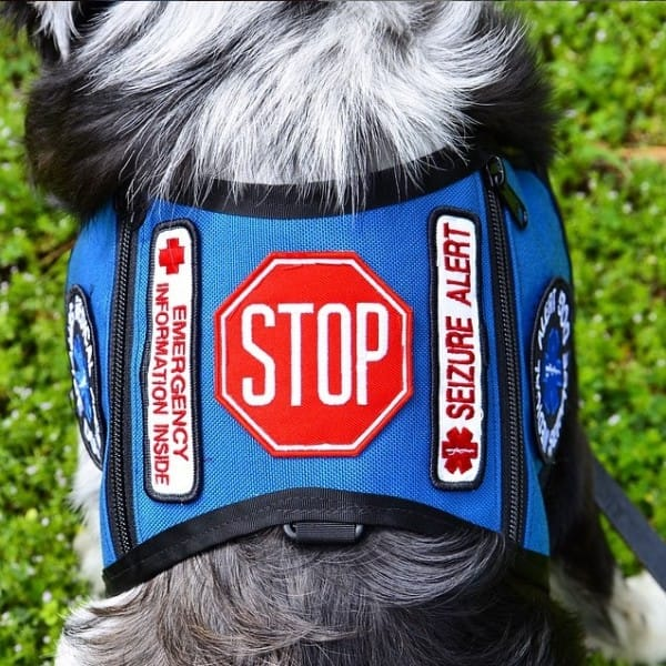 teen has seizure service dog distracted