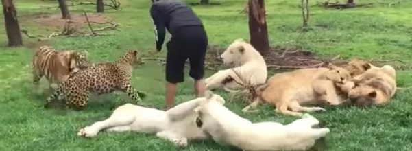 tiger saves zookeeper