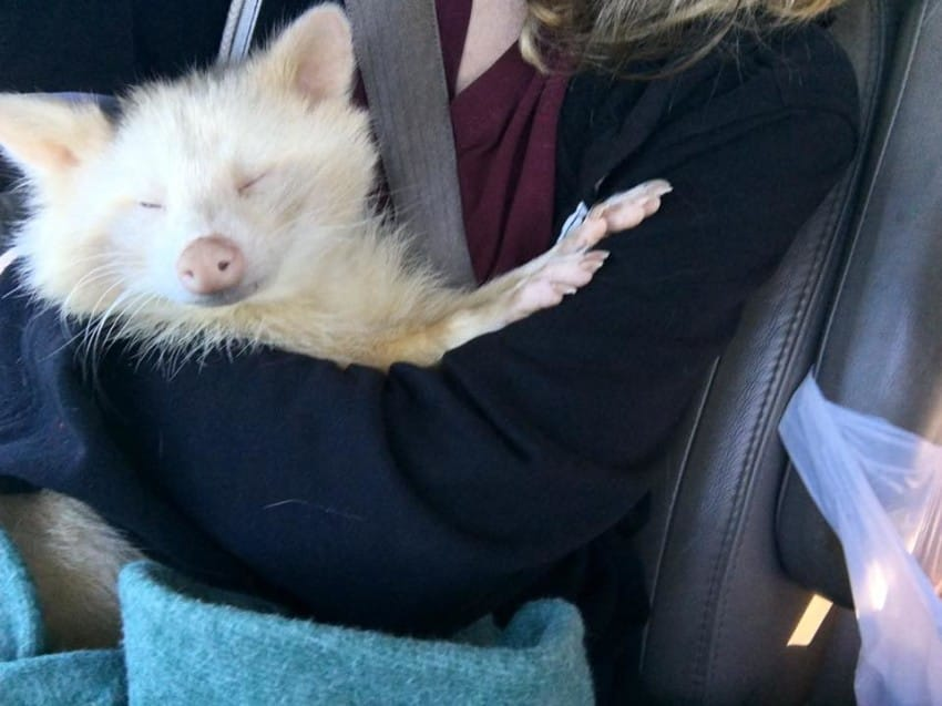isis the albino raccoon