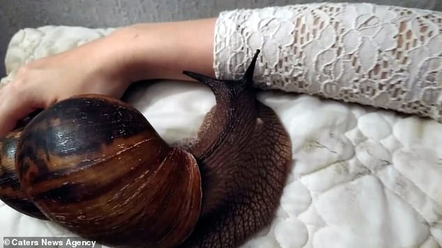 giant pet snail
