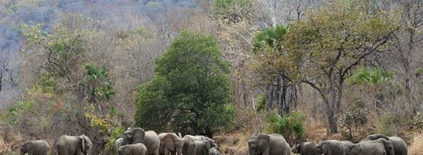 zero elephants poached