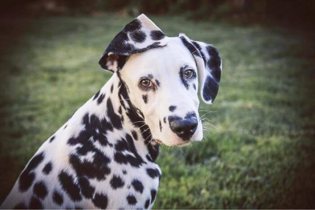 dog with heart nose