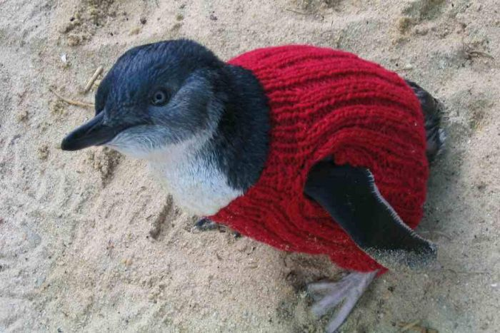 little penguins rehabilitation jumpers oil spill
