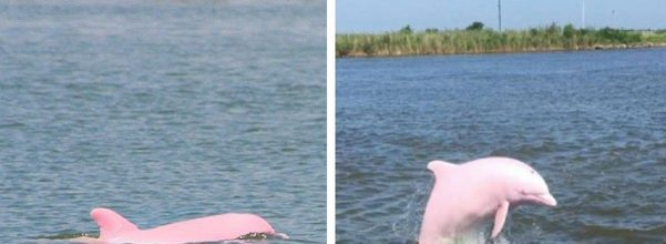 pink dolphin pink calf