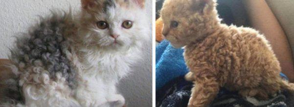 poodle cats