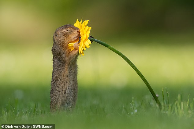 squirrel smelling flower