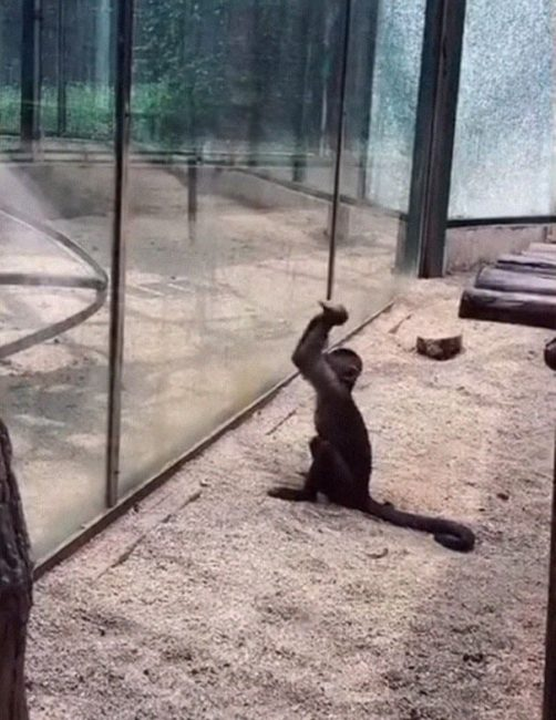 monkey breaking glass